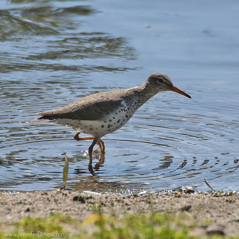Spotted Sandpiper by Jennifer Ditterich