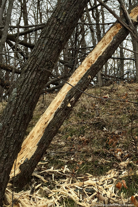 Tree Destroyed by Woodpeckers