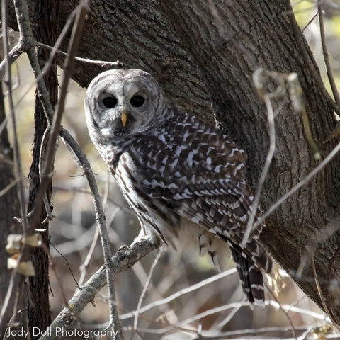 Wary Barred Owl by Jody Doll Photography