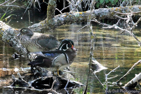 Wood Duck Pair by Jody Doll