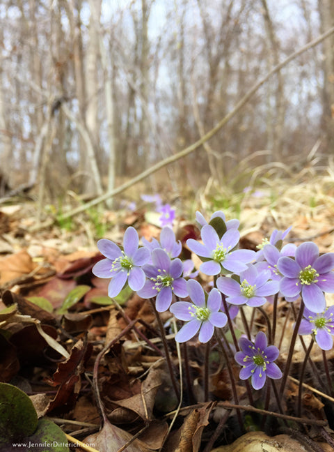 Woodland Violet Cell Phone Photo by Jennifer Ditterich