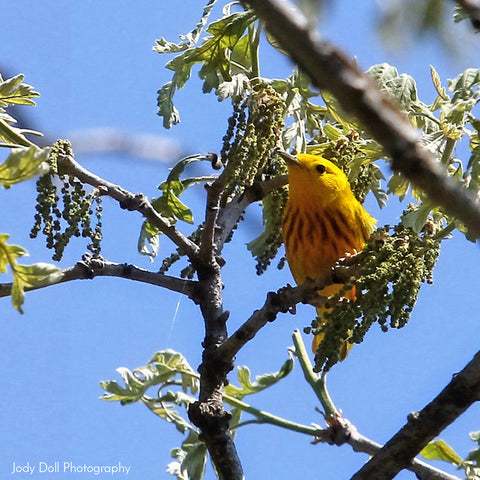Yellow Warbler by Jody Doll