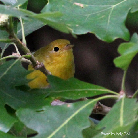 Yellow Warbler photo by Jody Doll