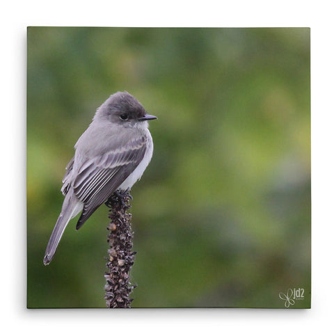 Eastern Phoebe - Canvas Bird Print