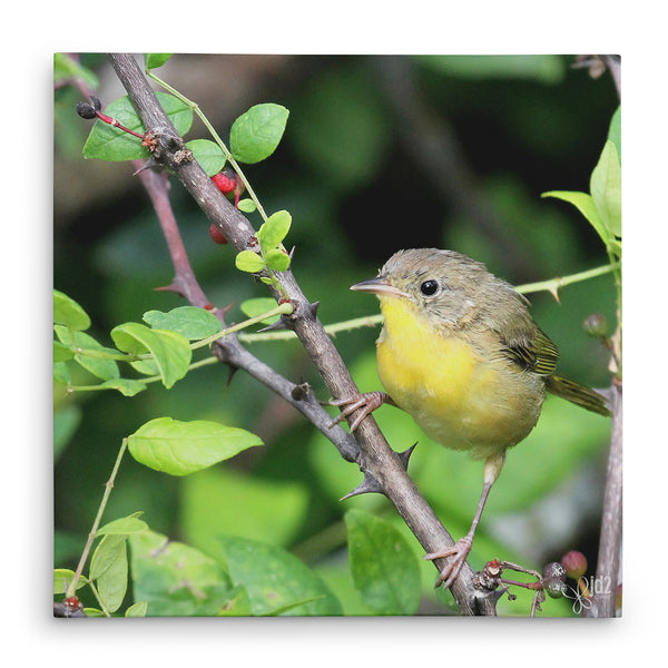 Young Warbler - Canvas Bird Print