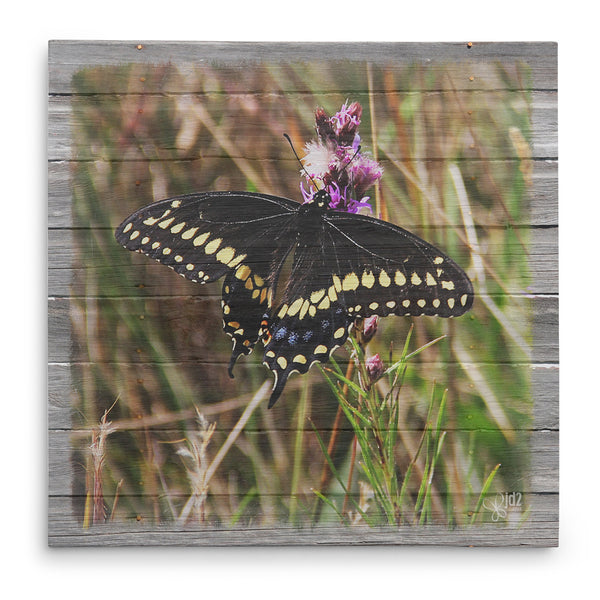 Male Black Swallowtail On Thistle Canvas Print