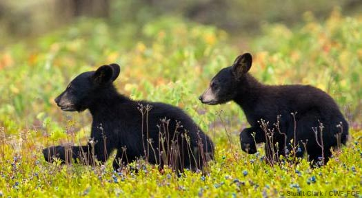 black bear cubs <span class='lang lang1 inline-block'> ours noir