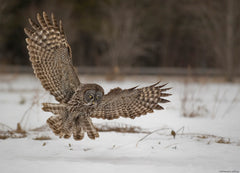 Reflections of Nature Photo Exhibit: 'I Love You THIS Much Owl' by Bill Maynard|Exposition de photos fauniques 2017 : « Expansion »  par Bill Maynard