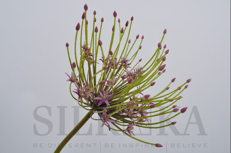 Allium Spray Purple 53 cm