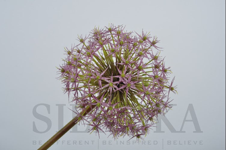 Allium Spray Purple 104 cm