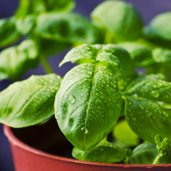 image of basil plant closeup.  Photograph by tookapic
