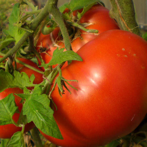 bright red beefsteak tomato on the vine