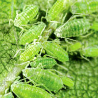 image of several green aphids on a leaf