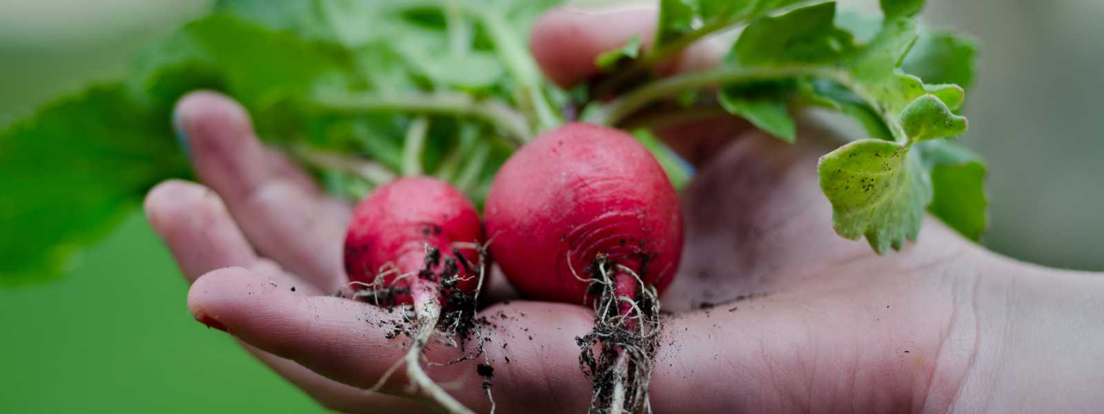 image of a hand holding radishes freshly pulled from the soil