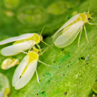closeup image of three white flies on a green leaf