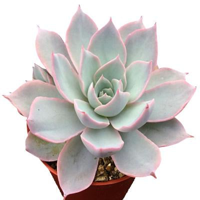 pale green pointed leaves with pink edges