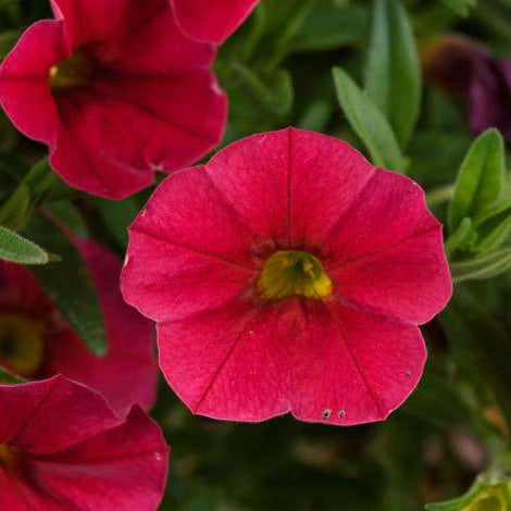 closeup image of calibrachoa bloom with deep red five lobed petals and a bright yellow inside pistil