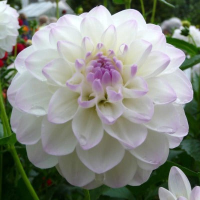 Multi layered, ball shaped white bloom with lavender center and ruffled petals and saw toothed edges