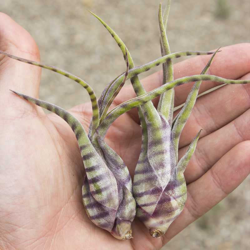 image of hand holding two bulbous type air plants with spiked leaves and subtle purple striping along its length