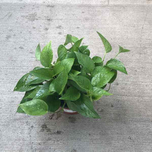 pothos plant with bright green pointed leaves