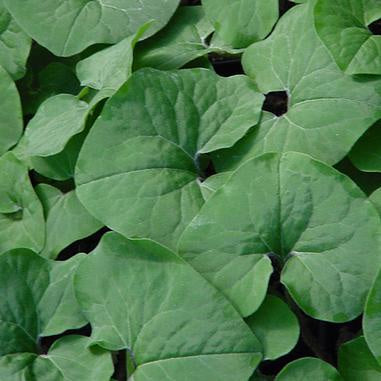 image of large heart shaped green leaves