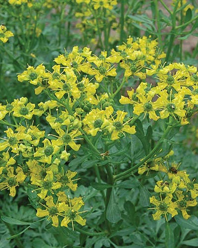 multiple small yellow blooms on tall green stems