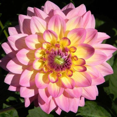 Multi layered pink and yellow bloom with a pink center, ruffled petals and saw toothed edges