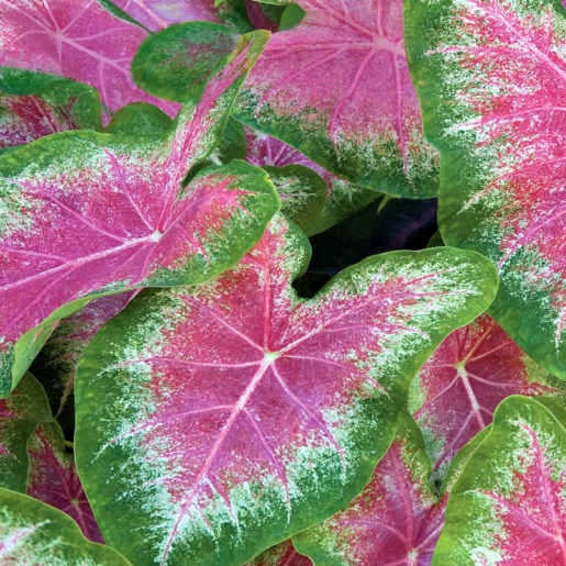 image of several spade shaped caladium leaves with a bright rose pink center surrounded by cream and then green edges