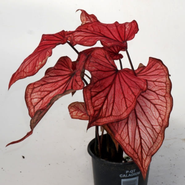 image of caladium plant with pink leaves and deep red veining and outer edges