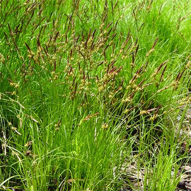 bright gree foliage on low mounding grass with brown seed heads