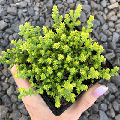 Sedum acre 'Aureum' in 2.5in pot