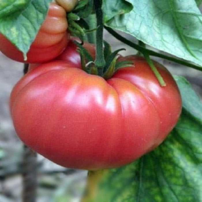 closeup image of large red tomato with rippled shape