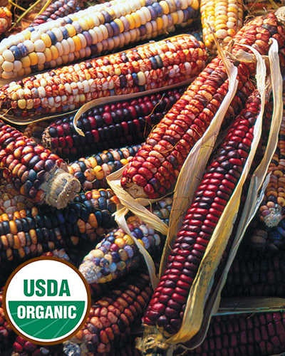 image of several ears of corn in multi colors of dark red, orange, black and yellow, with the USDA organic label in the lower left corner