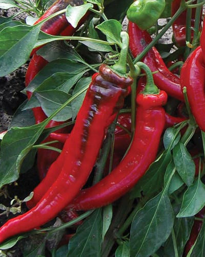image of pepper plant with several long, thin, curved bright red peppers