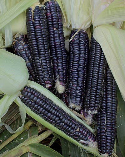 image of several ears of corn with dark almost black kernels