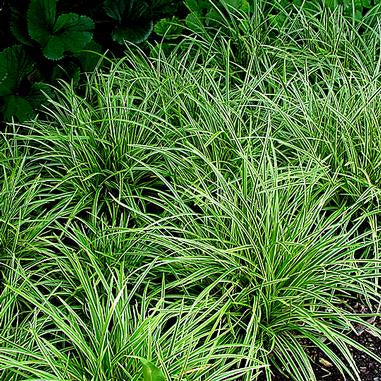 green & white varigated foliage on low mounding grass