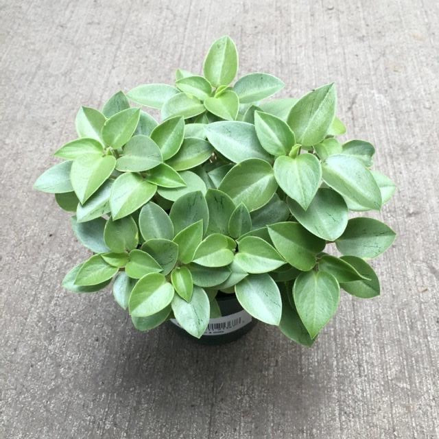 Peperomia pixie is a mounding compact houseplant.