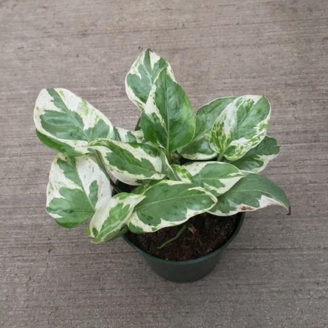 Pothos Pearl and Jade 4in