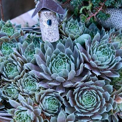 Sempervivum 'Pacific Blue Ice' Hens and Chicks