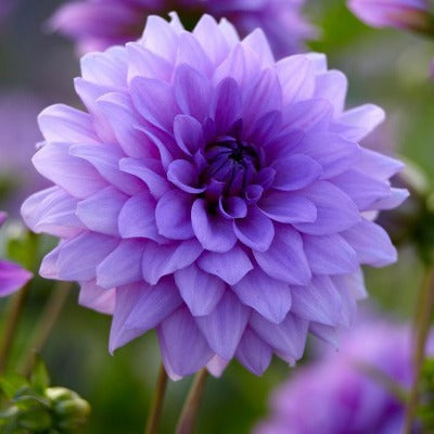 Multi layered  dark lavender bloom with a purple center, ruffled petals and saw toothed edges