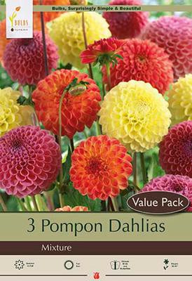 Multi layered, ball shaped blooms in various colors of red, orange, pink and yellow with ruffled petals and saw toothed edges