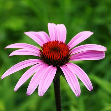 light purple petaled coneflower with deep red center