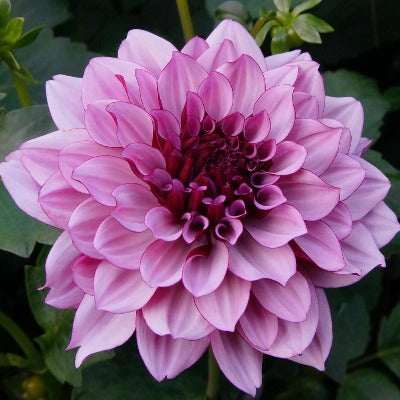 Multi layered dark pink bloom with a dark magenta center, ruffled petals and saw toothed edges