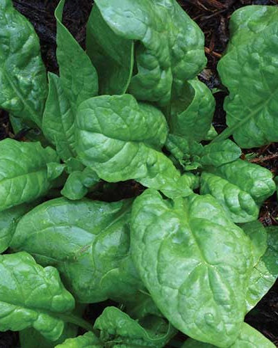 closeup image of spinach plants, show oblong, rippled green leaves growing out of a center stem'