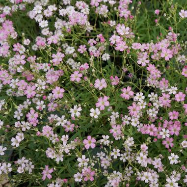 multi blossom plant with pale pinkish small blooms