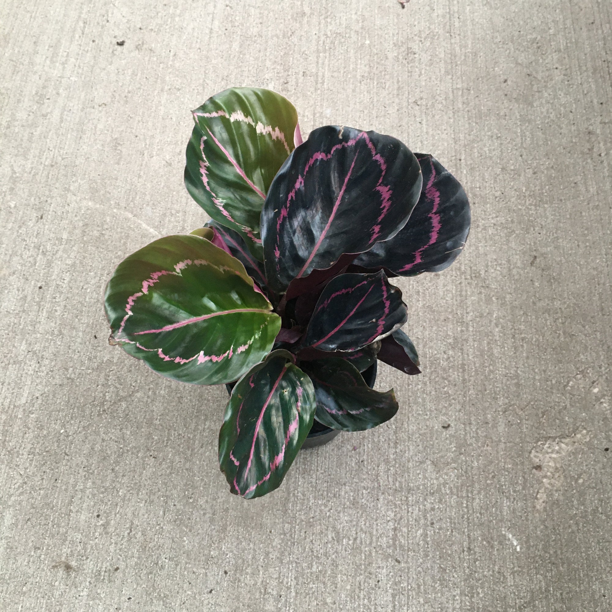 plant with oval green leaves with pink highlights on leaves