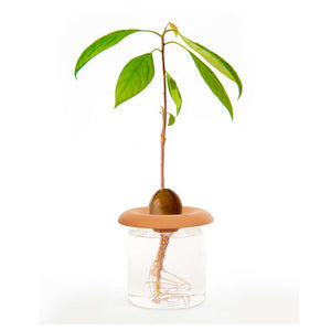 image of avocado plant in seed sprouter