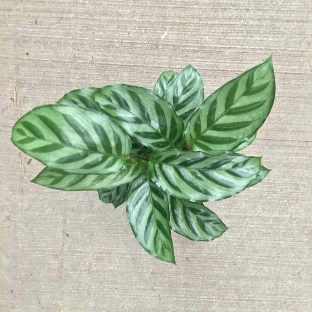 pointed light green leaves with dark green striping and edges