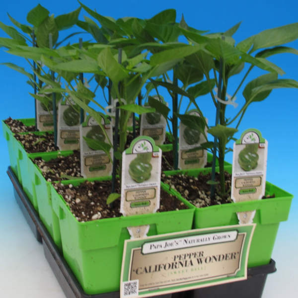 image of a tray of 8 starter california wonder pepper plants in bright green square pots