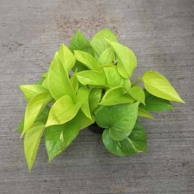 An electrifying color variation on the standard Pothos